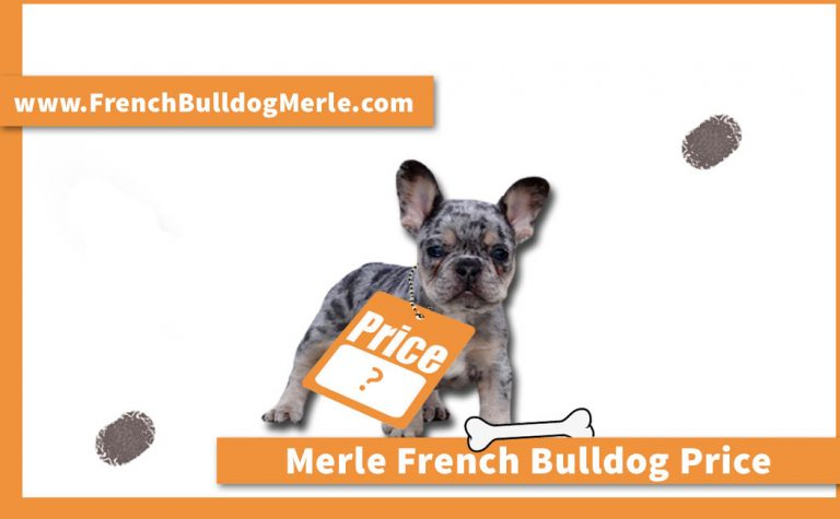 Merle French Bulldog Price – Why is it so Expensive?