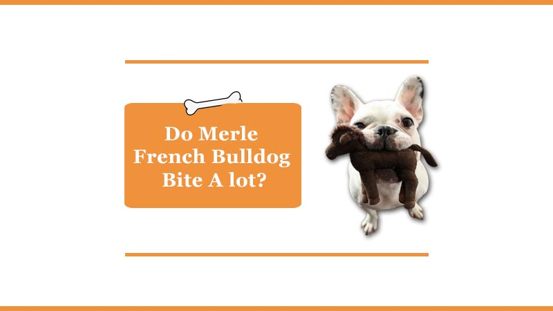 do merle french bulldogs bite a lot