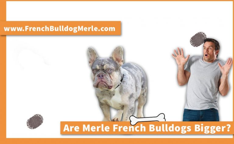 Are Merle French Bulldogs Bigger? Find Average Height & Weight