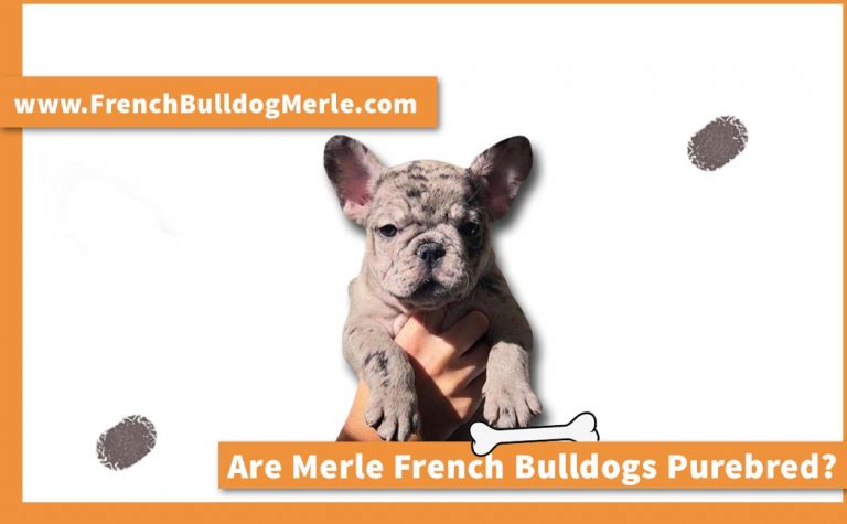 Are Merle French Bulldogs Purebred? Let's End this Debate