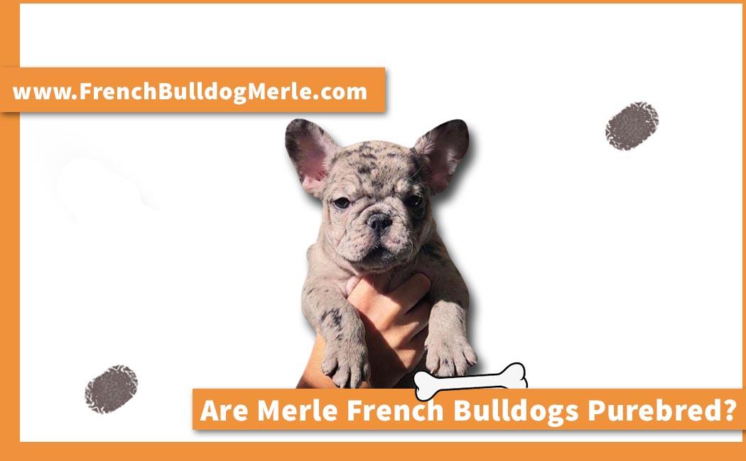 Are Merle French Bulldogs Purebred