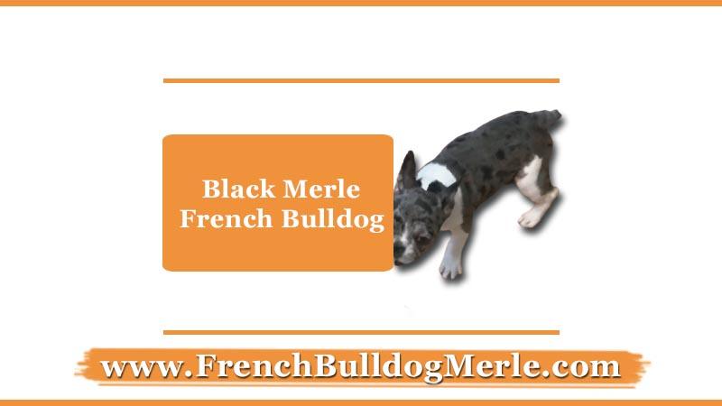 Black Merle French Bulldog
