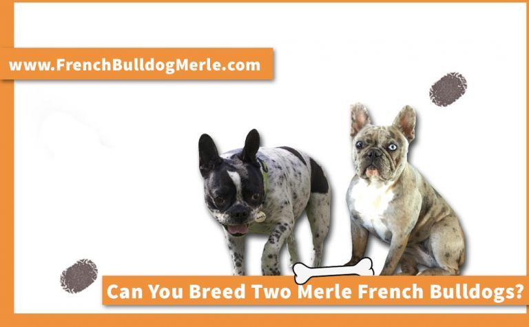 Can You Breed Two Merle French Bulldogs? What will Happen?