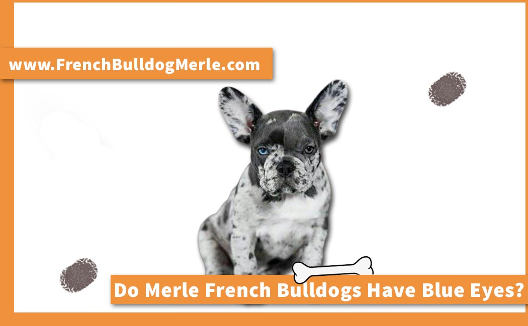 Do Merle French Bulldogs Have Blue Eyes