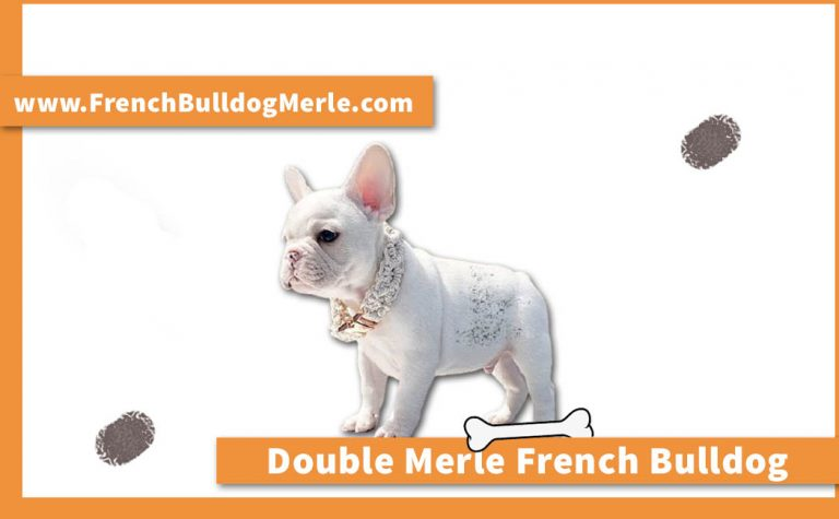 What is a Double Merle French Bulldog? Is it Ethical to Produce it?