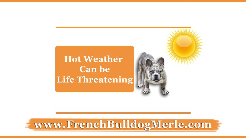 Hot weather can be life threatening for merle french bulldog