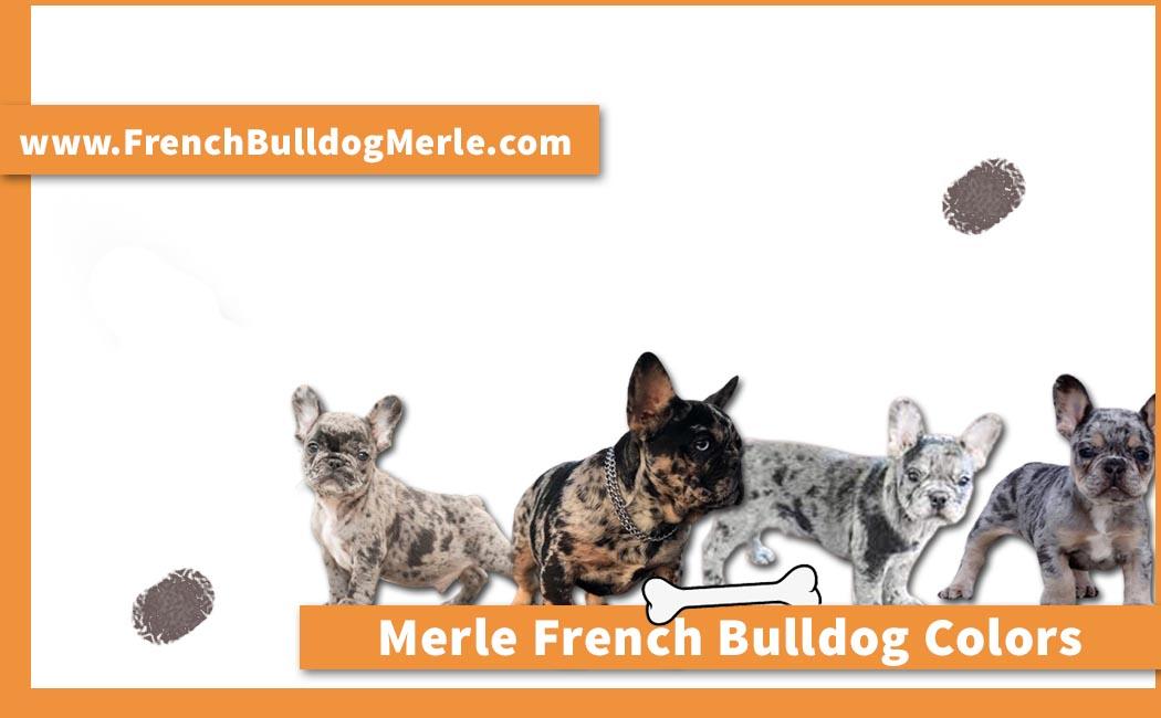 Merle French Bulldog Colors