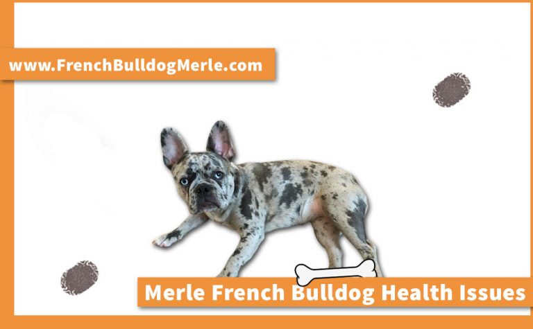 Major Merle French Bulldog Health Issues You Need to Know