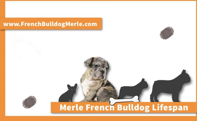Merle French Bulldog Lifespan – Which Factors Affect the Lifespan?