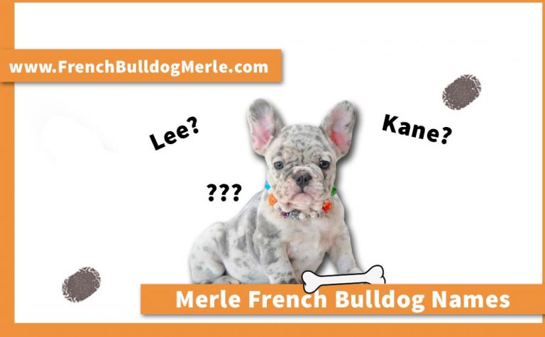 520 Names for Merle French Bulldog Male and Female