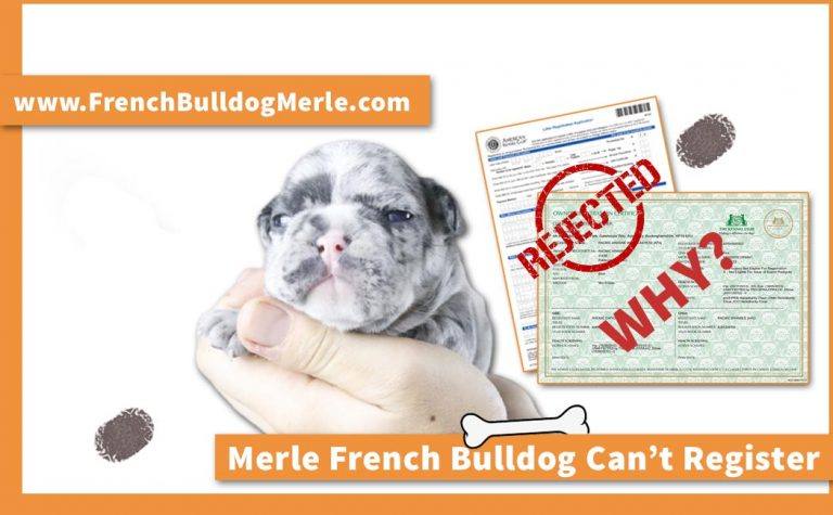 Why Can't Merle French Bulldogs be KC Registered?