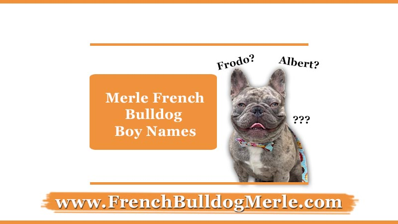 merle french bulldog boy names