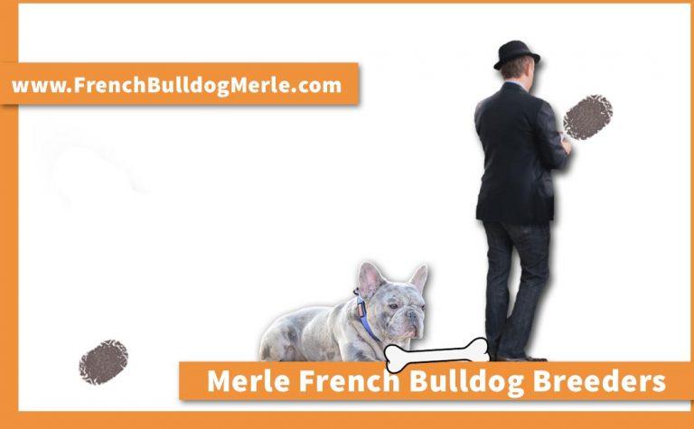 Best Merle French Bulldog Breeders Around the World