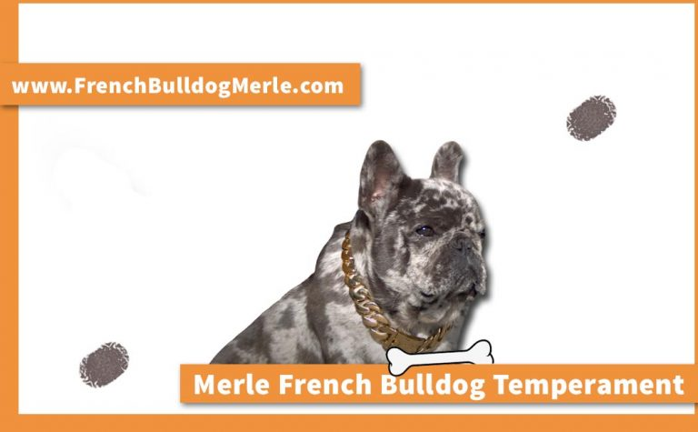 Merle French Bulldog Temperament – How Well it Performed in ATTS?
