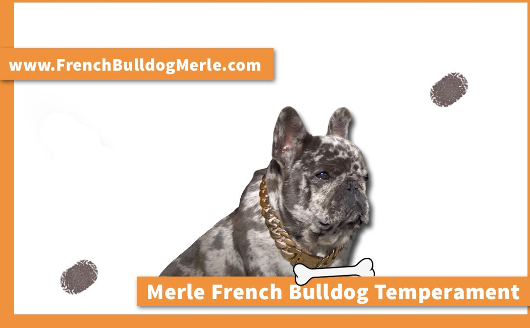 merle french bulldog temperament