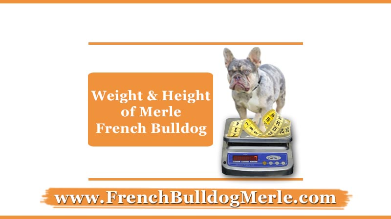 weight and height of merle French bulldogs